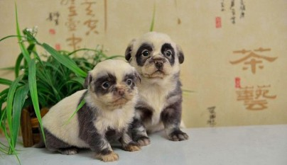 cute-dog-panda-puppies-1