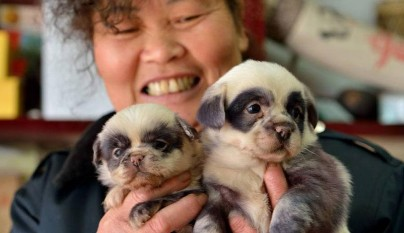 cute-dog-panda-puppies-6
