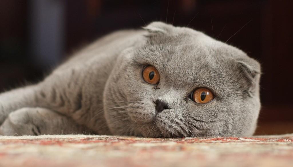 El gato de las orejas caídas es una extraña raza procedente de Estados Unidos. Razón por la cual es conocido también con el nombre de American Curl o Rizo