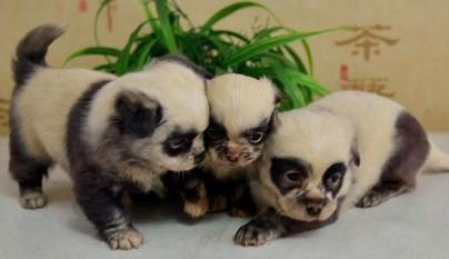 perros que parecen osos panda