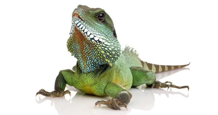 Tener una iguana como mascota