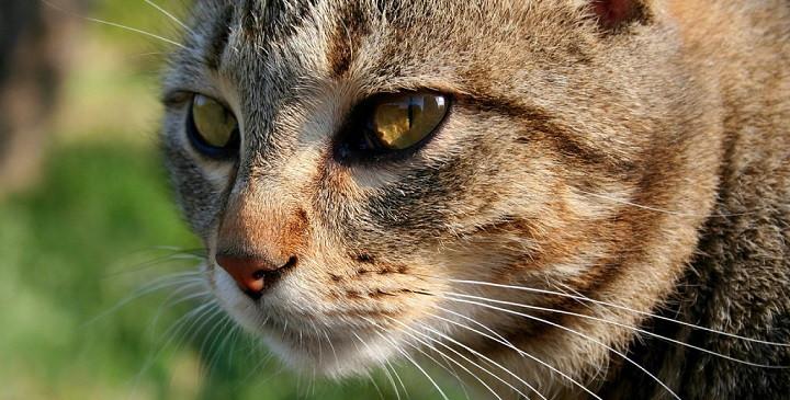 Caspa gatos