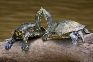 Alimentación de la tortuga de agua