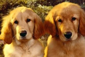 Prevenir las cataratas en los perros