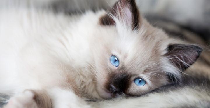 Cuidados del gato ragdoll - Cuidados gato 1 mes ...