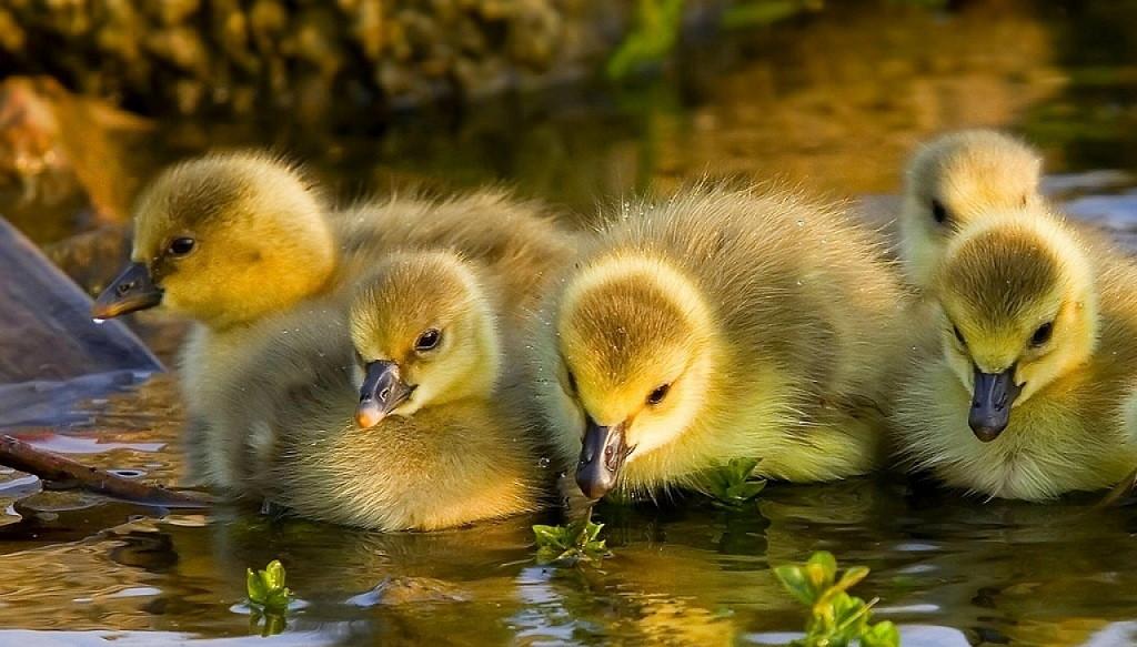 La alimentación de los patos