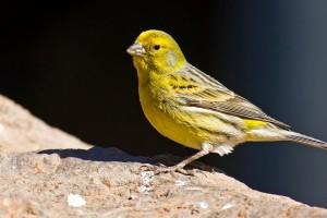 Cómo saber si tu canario está enfermo