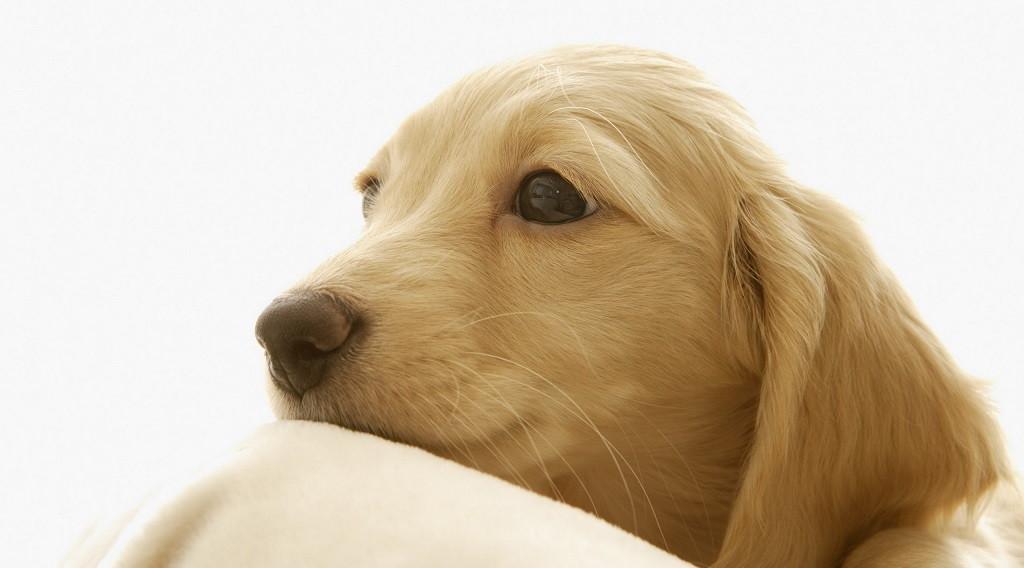 belleza canina