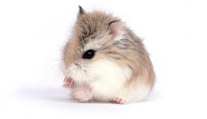 hamster comiendo burritos