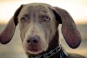 Cómo detectar la otitis en perros