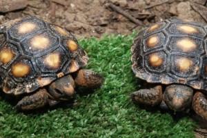 Tortugas con problemas respiratorios