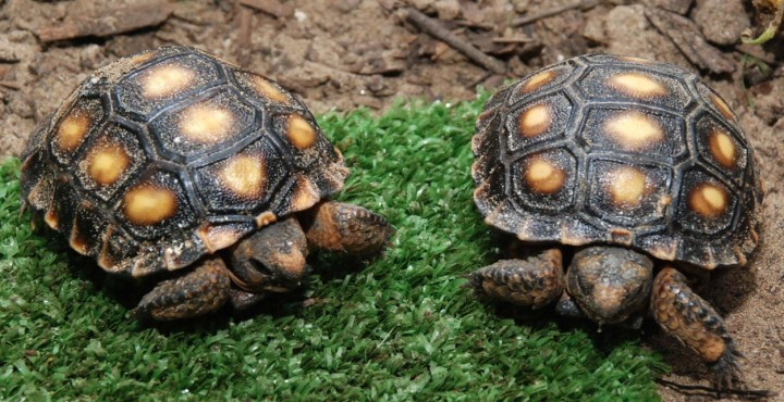 Tortugas archives animal mascota for Estanques pequenos para tortugas
