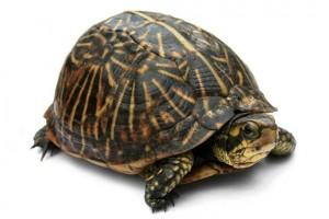 Averigua si tu tortuga es macho o hembra