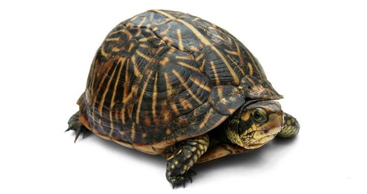 tortugas hembra o macho