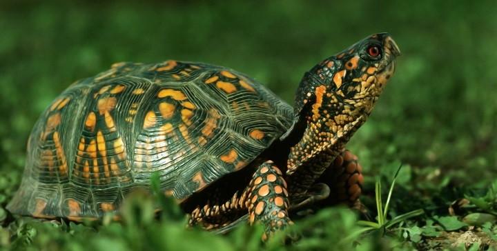 tortugas hembra o macho1