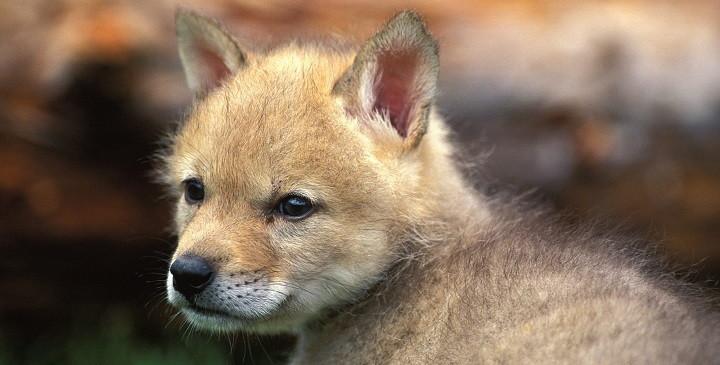 Lobo mascota1
