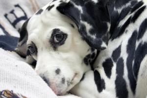 Consejos para cuidar a un perro sordo