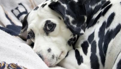 consejos perros sordos