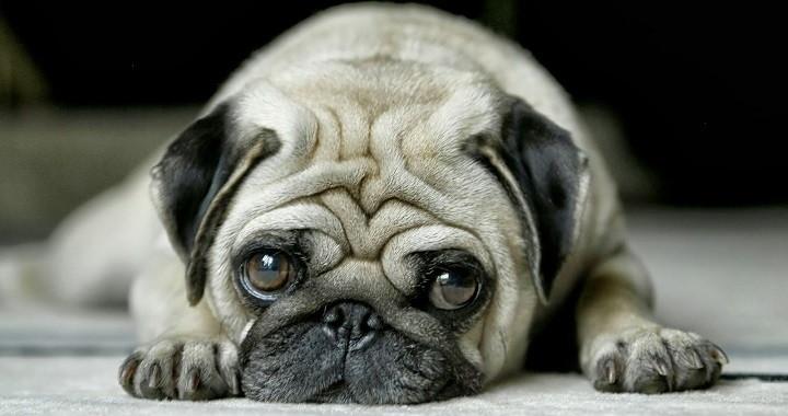 humanizar perros