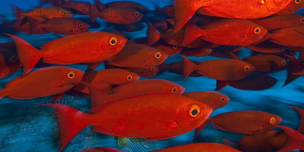 peces rojos