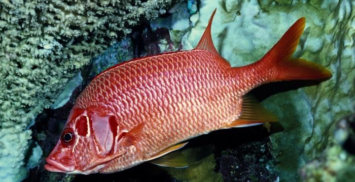 el pez rojo