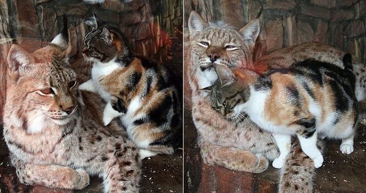 amistad entre lince y gato