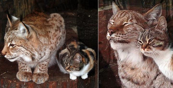 amistad entre lince y gato1