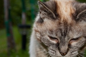 Cómo detectar la osteoartrosis en gatos