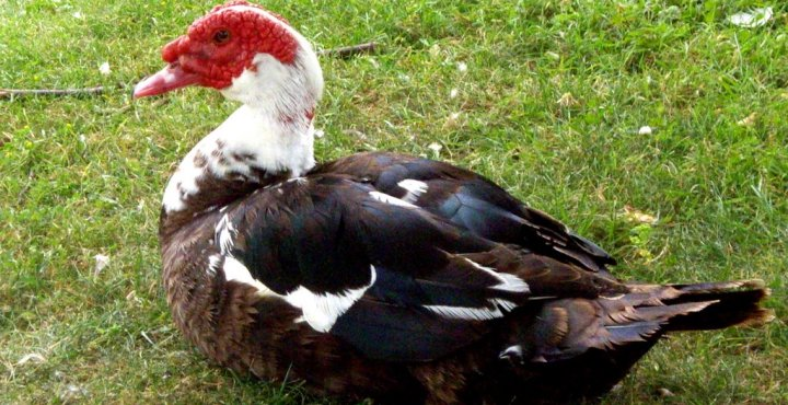 Pato Muscovy