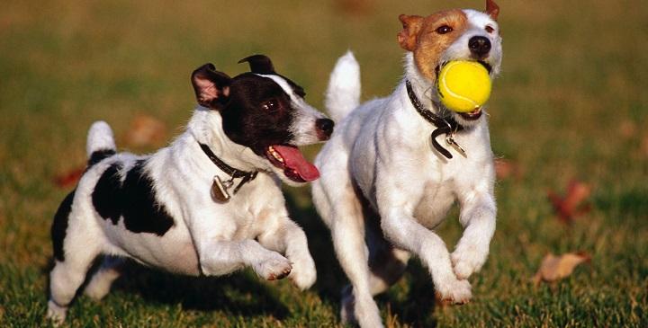 perros mucha energia1