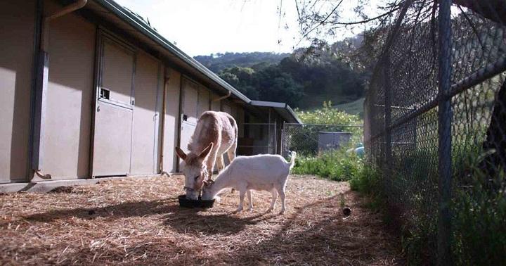 reencuentro cabra y burro