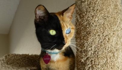 Gato Venus