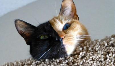 Gato con dos caras12
