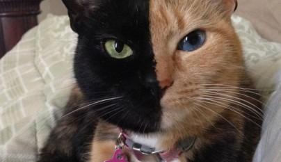Gato con dos caras15