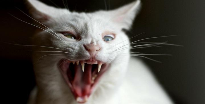 como actuar ante gatos agresivos1