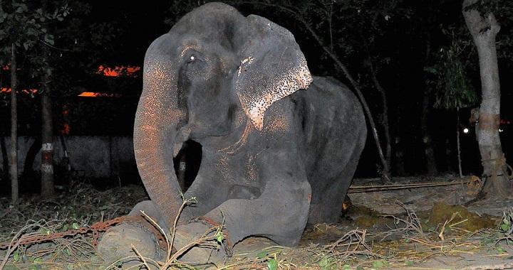 liberacion elefante Raju