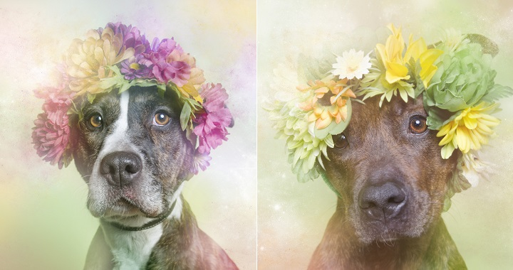 Flower Power pitbulls