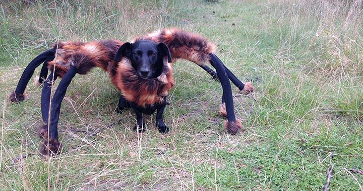Broma perro disfrazado arana gigante