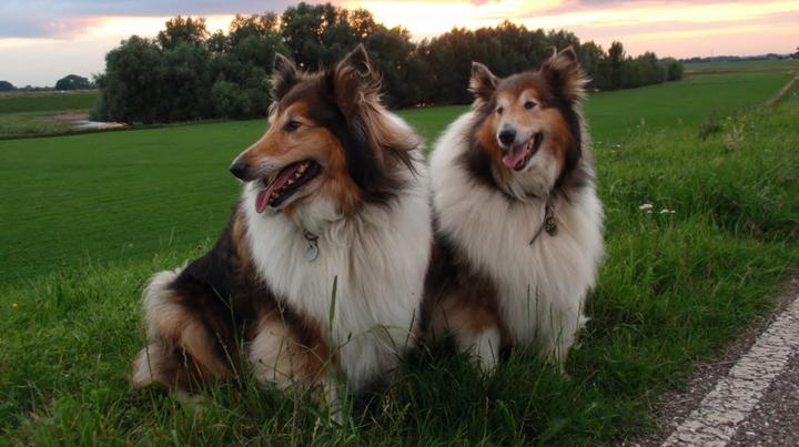 Cuáles son las razas de perros más fieles