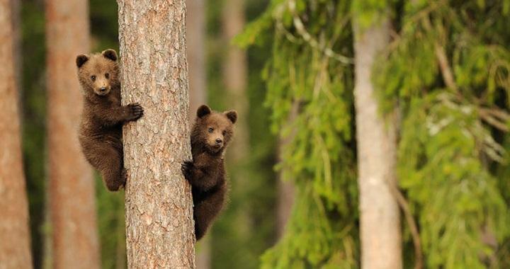 madres oso ensenando a sus crias
