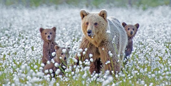 madres oso ensenando a sus crias1