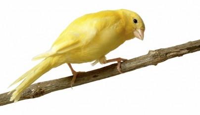 Alimentos perjudiciales canario