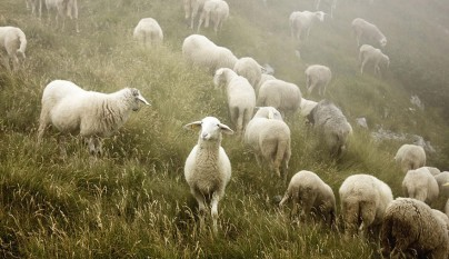 Fotos de ovejas en la naturaleza10