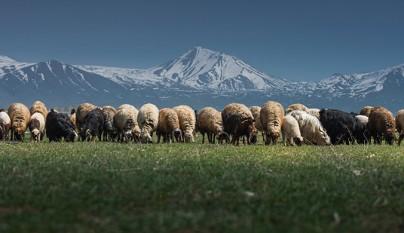 Fotos de ovejas en la naturaleza11