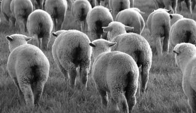 Fotos de ovejas en la naturaleza13