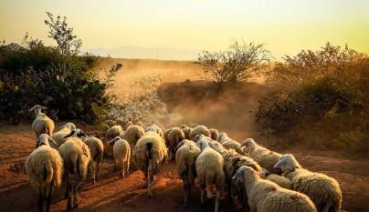 Fotos de ovejas en la naturaleza16