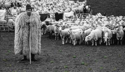 Fotos de ovejas en la naturaleza17