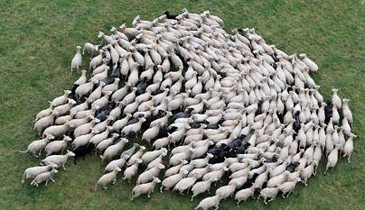Fotos de ovejas en la naturaleza19