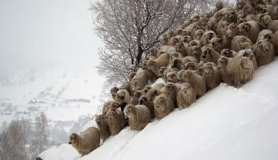 Fotos de ovejas en la naturaleza21