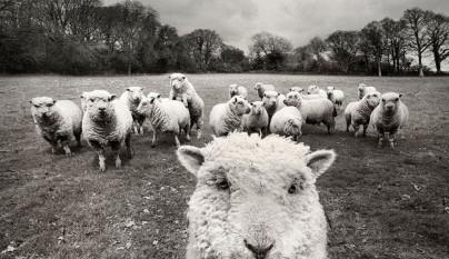 Fotos de ovejas en la naturaleza25